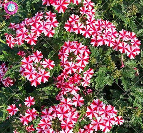 50PCS mixte graines Verveine Couleur Verveine hybrida Voss fleurs bonsaï rare Graines de plantes vivaces balcon pour le jardin à la maison 1