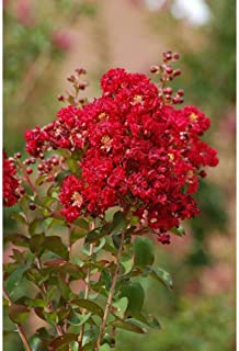 Best red rooster crape myrtle Reviews