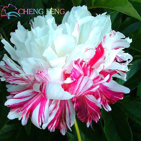 Pivoine chinois, racine de pivoine Seeds, - 10pcs Rare pivoine chinois Graines Plantation de verdure et de fleurs Terrasse Cour Jardin