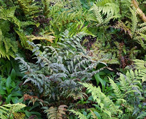 Pack x6 Hardy Ferns Perennial Garden Plug Plants Special Collection
