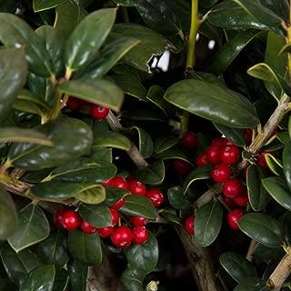 2.5 Qt - Dwarf Burford Holly(ilex cornuta 'burfordii') - Evergreen Shrub with Glossy Green Foliage