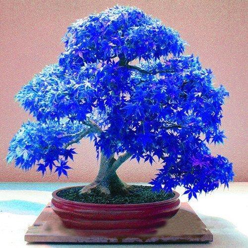 SVI 20 árboles de color púrpura y azul, árbol de arce japonés (Acer palatum), semillas de flores de Bonsai, semillas de árbol, planta en maceta para casa y jardín
