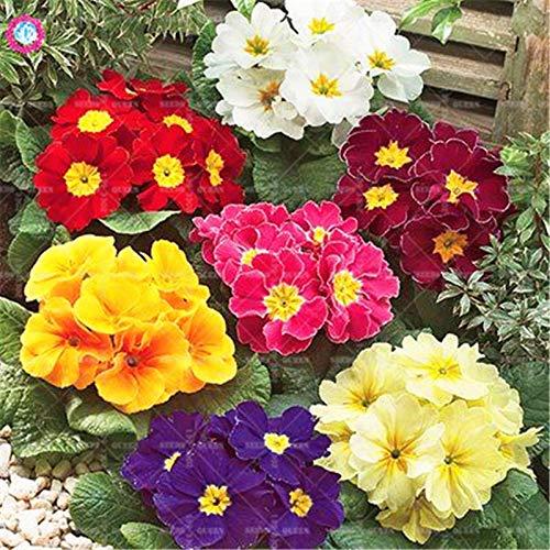 Pinkdose 50 stücke Gemischte Europäische Primel Bunte Primula Bonsai Blume Blühende Pflanzen Topf für Hausgarten Beste verpackung