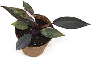Joinflower Joinfolia Philodendron Pink Princess(M)
