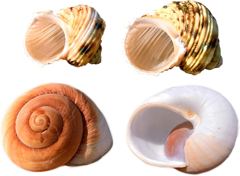 Hermit Crab Shells Growth Seashell Large Conch Snail Natural Decor 4 PCS Fish Tank Decoration Crafts