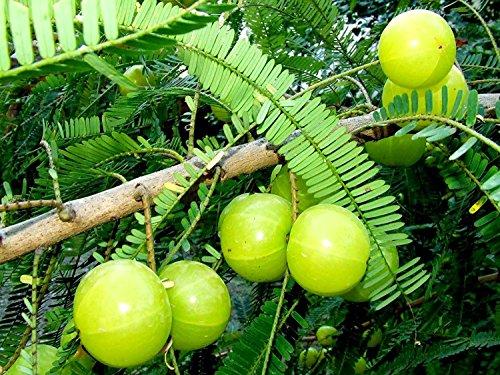 RWS 10 semillas de Phyllanthus emblica, árboles Amla, grosella espinosa india, la medicina tradicional china