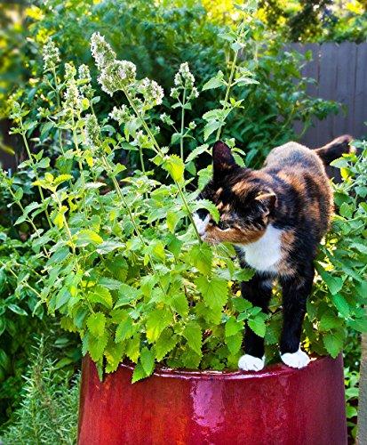 Go Garden Semillas de hierba gatera - Nepeta cataria - +150 Semillas - 0,5 gramo de paquetes