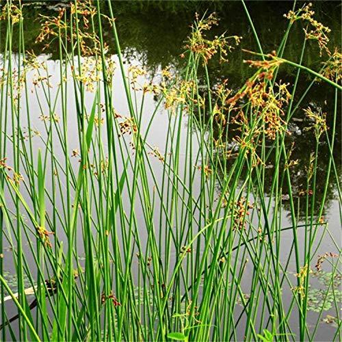 300 pezzi di piante da fiore acquatiche ornamentali Semi di cipolla allium Semi di allium vulgaris Semi di cipolla allium piante Fiori semi-eccellenti