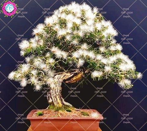 10 pcs Bonsai Albizia julibrissin Belle Graines de fleurs Acacia Graines de fleurs vivaces d'intérieur Plante en pot pour jardin 1