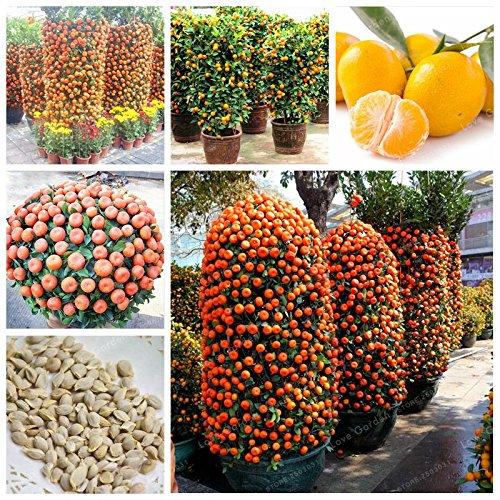 Mandarin Tree: Amazon com