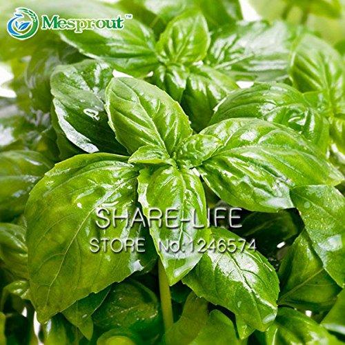 Grand basilic feuilles, graines de basilic, plantes de jardin bonsaï légumes Graines de basilic, 50 particules