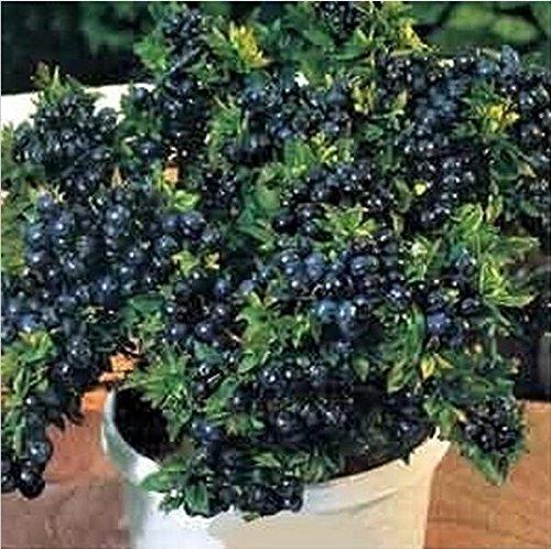 200 graines/Pack, Vente! Blueberry Bush New Garden Flowers Four Season Semer Monde Graines rares de fleur pour la Garde