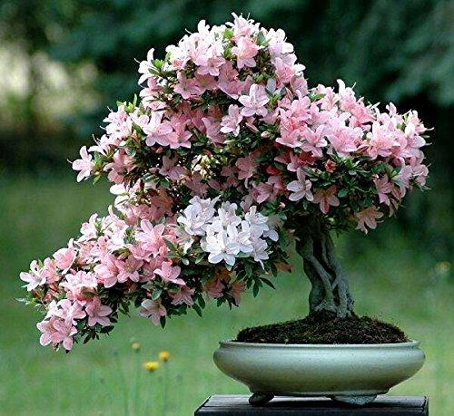 japonais graines de fleurs 10pcs / lot gros graines de sakura bonsaï fleur rose Cherry Blossoms