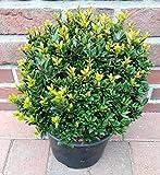 4 Ilex crenata Twiggy, Durchmesser: 25-30 cm, alternative Buchsbaum + Dünger