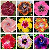 C-LARSS 200Pcs / Bag Hibiscus Coralline Seeds, Rustic Sunshine Prefiere Florecer Vibrante Hibiscus Coralline Semillas Para Bonsai Semillas de hibisco coralino