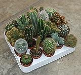 piante grasse mix cactus e succulente mix da 20 pz vaso diametro 5 MONDONATURA SRL...