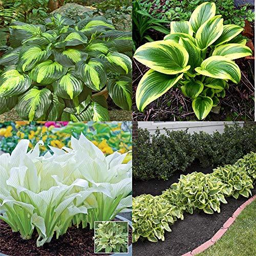 Stauden Hosta Hybride Funkie,Herzblattlilien- / Garten- und Straßendekorationspflanzen sind grüne, schattentolerante Pflanzen-5Rhizome