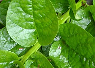 Mixed Malabar Spinach--FRESH SEEDS-- BOTH VARIETIES!! RED & GREEN!!! Delicious!!(25 - Seeds)
