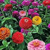 100 STÜCKE Zinnie Bonsai Samen Blumensamen Pflanze Hausgarten Dekorative Pflanzen Samen Einfach Zu Wachsen DIY Ornamente