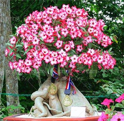 Pinkdose 2Pcs / Bagdesertrosefloweradeniumobesumbonsaiflowerdoublepetalsepottedplantforhomegarden100% wahr: 2