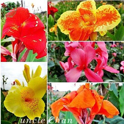 couleurs de mélange Nouvelle arrivée à la maison de jardin Canna Graines de fleurs, plantes aquatiques graines Canna 20 particlesf14