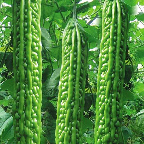 Mara Long Variety - (OP) - Momordica charantia - Semi non OGM (Bianco)