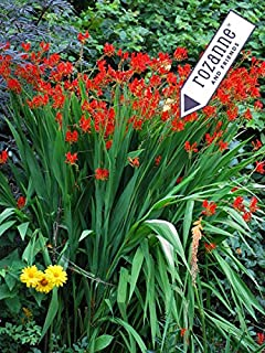 Perennial Farm Marketplace Crocosmia x 'Lucifer' (Montbretia) Perennial, Size-#1 Container, Fiery Red Flowers
