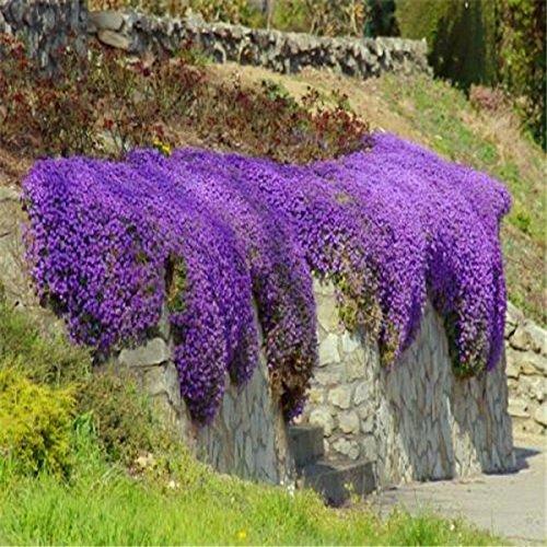 100pcs / bolsa de semillas de tomillo rastrero o semillas de berro de roca azul - flor superficie del terreno perenne, de crecimiento natural para el jardín de 5