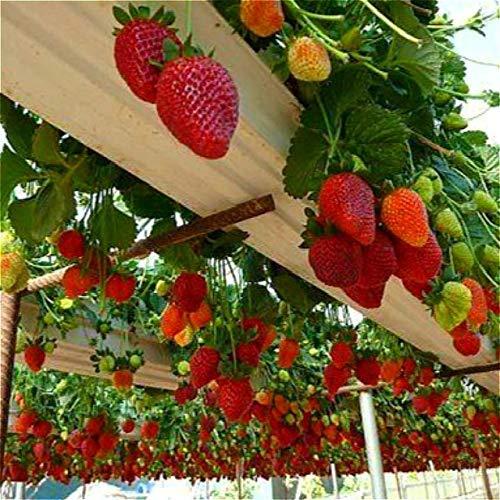 Shopvise 30 Stücke Erdbeersamen Jardin Seeds Delicious * No-Gmo Obst Samen Für Gartensamen Ing Sementes Für Sal: Hellgrün