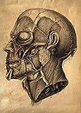 World of Art Vintage Anatomie Menschlicher Kopf C1776von