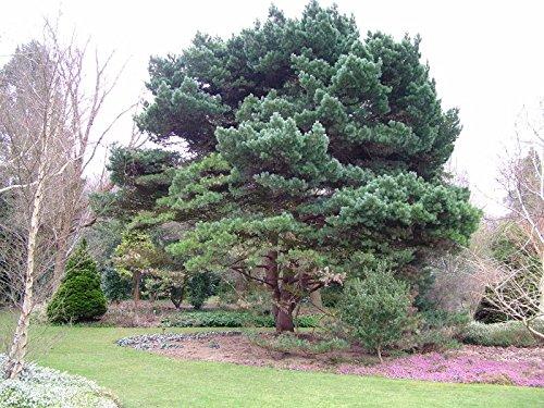 Strauch-Waldkiefer - Pinus sylvestris 'Watereri' - 40-50cm im 3 Ltr. Topf