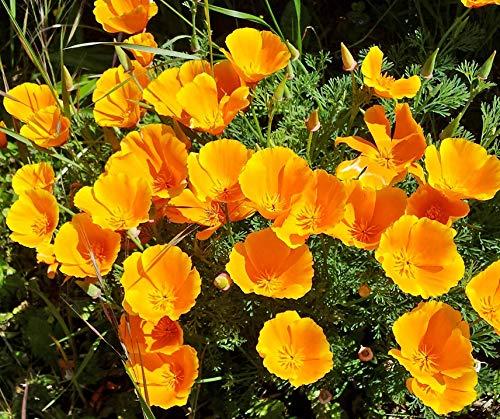 Bobby-Seeds Blumensamen Goldmohn Orange King Portion