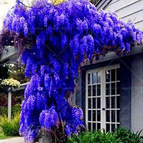 10 semillas / pack. Semillas NUEVO AZUL Wisteria árbol de interior plantas ornamentales Semillas Semillas de flor de las glicinias, hermosa su Gardon