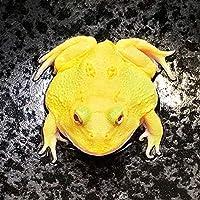 【生体】(両生類)アルビノクランウェルツノガエル スーパーイエロー(約3-5cm)(1匹)カエル