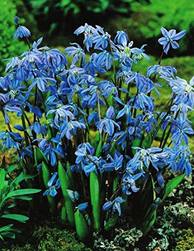 Scilla Siberica Blausternchen in Blau (50 Blumenzwiebeln)