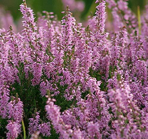 AGROBITS 100 True Heather Arbuste Scot Purple Pink Flower lluna Voir