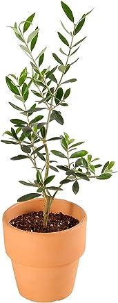 観葉植物 オリーブの木 素焼 鉢植え 4号 インテリア グリーン (品種:ルッカ)