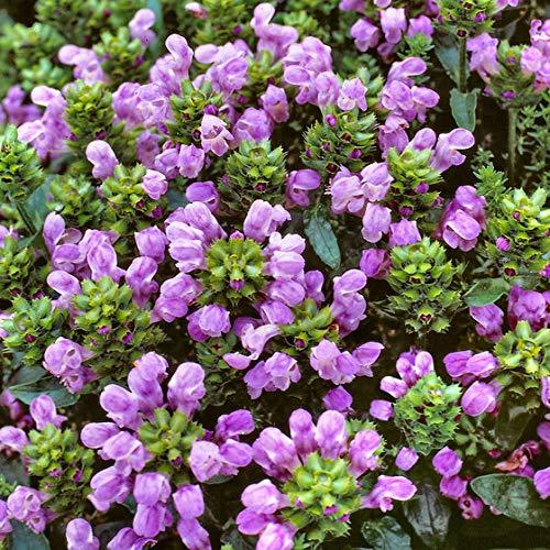 Keland Garten - Rarität Großblütig Braunelle lila Bodendecker für Schmetterlinge und Bienen, Blumensamen Mischung winterhart mehrjährig für das Beet/Naturgärten