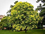 PLAT FIRM Semi di GERMINAZIONE: 60 + Golden Regen Baumsamen Koelreuteria paniculata Libera S/H