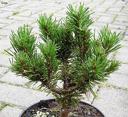 Pinus contorta Spaan's Dwarf - Zierliche Drehkiefer -