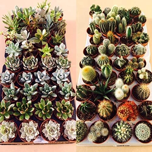 Succulent and Cactus Plant Mix - 20 Plants - 10 Succulent Plants - 10 Cactus Plants - in 5.5cm Pots