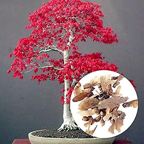 Acer palmatum - Arce japonés - bonsai - 20 semillas