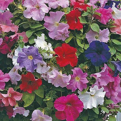Pétunia Supercascade Mix Graines de fleurs (Petunia x hybrida) + 40 sur les semences (80) Graines