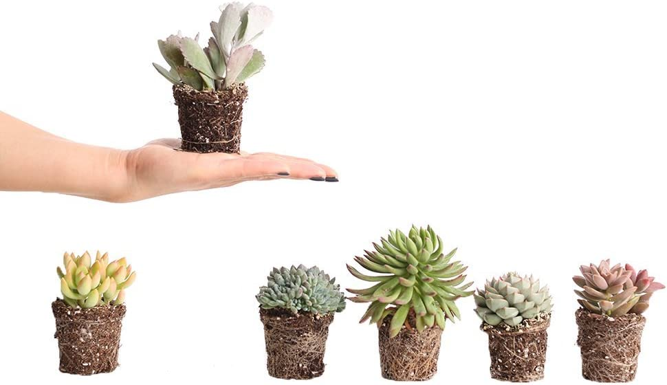Plants by Post Mini Minneapolis Mall Succulents Max 76% OFF Assorted 2.5-inch