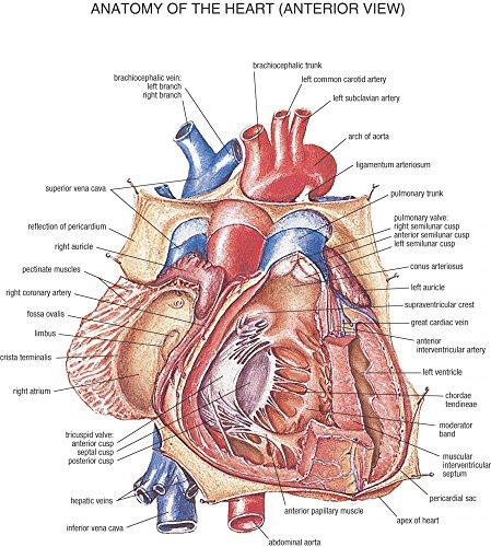 Der Museum Steckdose Charts von–HB Anatomie Herz–A3Poster Druck
