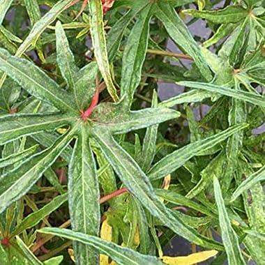 Chief Kubo's Prize South Sea Salad Tree (BeLe Tree) Live Plant - Abelmoschus Manihot