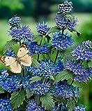 Keland Garten - 50pcs Rarität Bartblume 'Heavenly Blue' Blau Spirea bienenfreundlich, dunkelblau Garten-Hybride Ziersträucher Blumensamen winterhart mehrjährig reichblühend