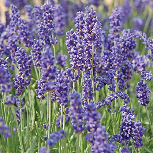 English Lavender Hardy Outdoor Garden Plant with Scented Purple Flowers, Attracts Bees and Butterflies, 6 Plug Plants, Lavandula Hidcote Plant by Thompson and Morgan (6)