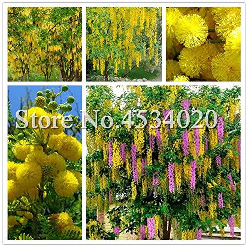 100 stuks Golden Mimosa Acacia Baileyana Yellow Wattle Boom van de bonsai Bloem Aromatische plant decoratieve huis tuindecoratie: mix