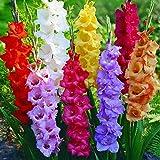 ypypiaol 300pcs colore misto semi di gladiolo bonsai piante ornamentali giardino floreale arredamento esterno semi di gladiolo